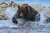 Big brown bear trying to catch salmon in stream