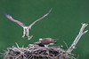 Male osprey returning to nest with fish for young osprey