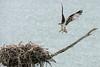 Osprey returning to nest with baby osprey