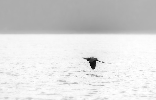Great blue heron silhouette flying in a bright fog. Black and white photography.
