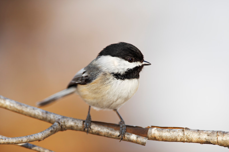 Black capped Chickadee bird on a branch with beautiful orange background. Very shallow depth of field.