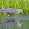 great blue heron bird fishing in the water. He caugh a fish in is mouth.