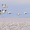 beautiful snow goose group in flight photographed during the morning sunrise color. Cap tourmente Quebec during their migration to east coast.