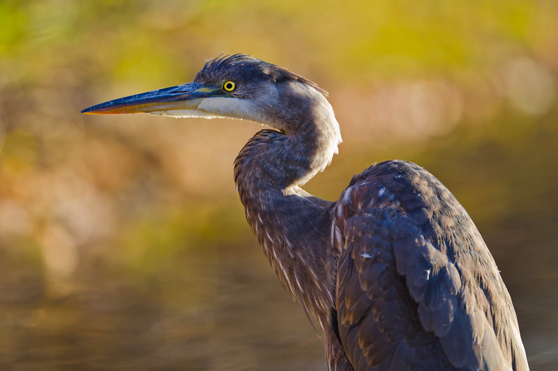 Beautiful great blue heron bird with shallow orange autumn background. Wildlife from canada.