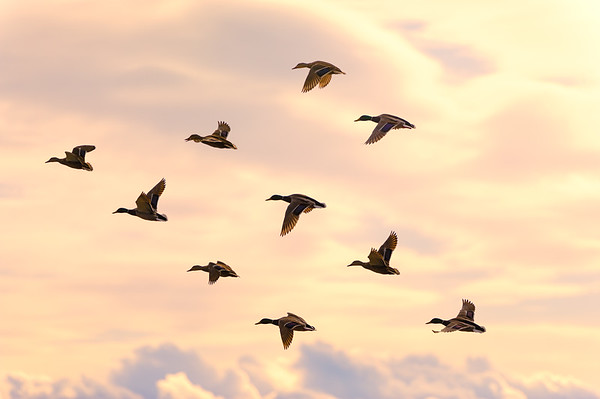 Beautiful duck group flying with soft morning sunrise light. Clouds in the background and warm tone.