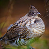 Ruffed grouse bird in the forest with branch around him. Very shallow depth of field.