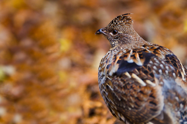Ruffed grouse bird in the forest with orange autumn background. Very shallow depth of field.