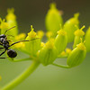 black ant on a beautiful flower taking a special pose. Very shallow depth of field.