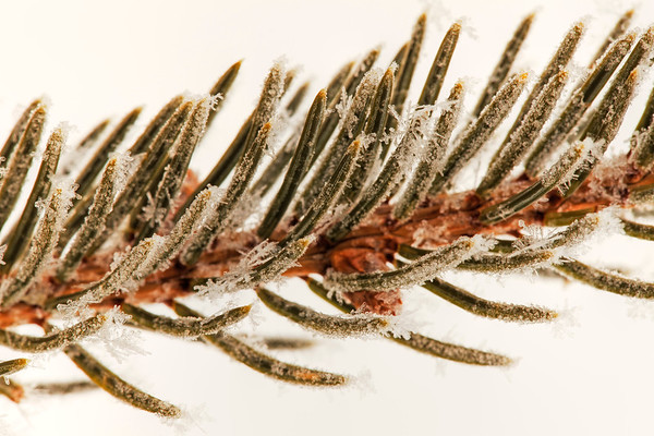 macro photography of a pine tree branch with snowflake on it. Warm tone.