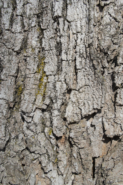 Old oak bark background