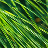 beautiful grass with the morning light. Very shallow depth of field. Perfect for ecology background.