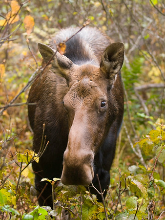 beautiful wild female moose in the forest.