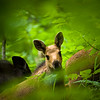 Calf moose in the forest. Shallow depth of field.