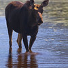Calf moose in a river  from Jacques Cartier National park Quebec.Canada.