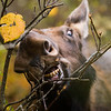 beautiful wild female moose in the forest while eating a branch.