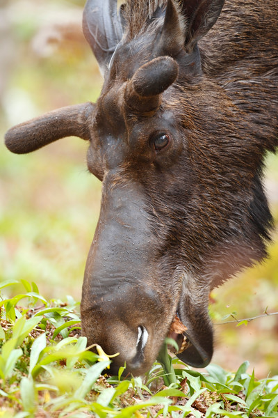 Male moose eating grass in the forest. Space to add your text.