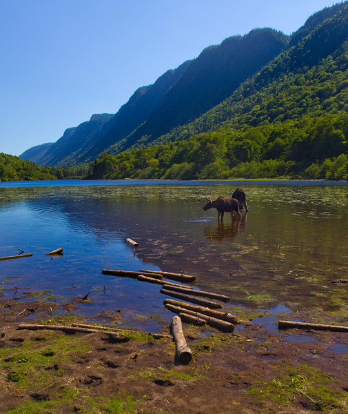 Moose in a river  from Jacques Cartier National park Quebec.Canada.