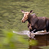 female moose mammal in a river while she eat. Nationnal Park Jacques Cartie Quebec Canada