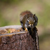 cute squirrel on a tree looking at the camera