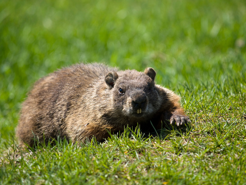 wild marmot in the grass looking at camera