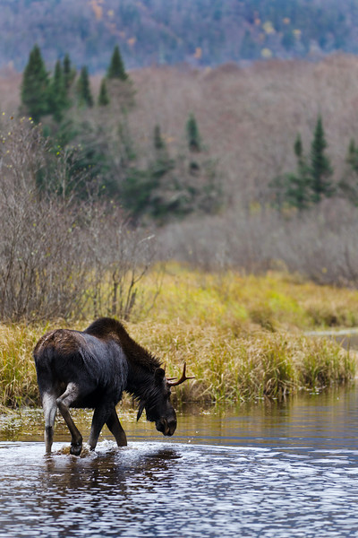 Beautiful moose male in a river from Quebec Canada. Wildlife photography.