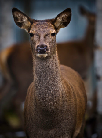 beautiful white tailed deer female looking at the camera.  Low key image