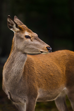 beautiful white tailed deer female looking at the camera.