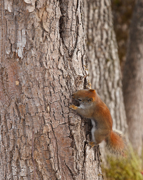 beautiful red squirrel climbing an old tree in the forest. Nature photography.