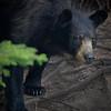 black bear from quebec