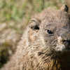 sweet shot of a marmot in the wild