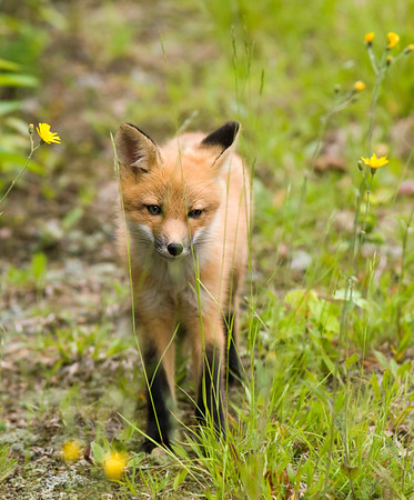 wild red fox from national park Jacques Cartier Quebec Canada