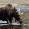 Beautiful male moose in the water. Wildlife from Quebec Canada.
