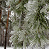 Pine with ice on the branches after storm