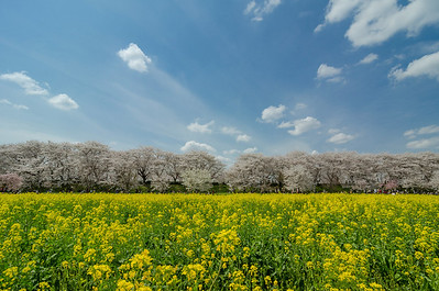 Cherry Blossoms and Rapseed Blossoms in Japan