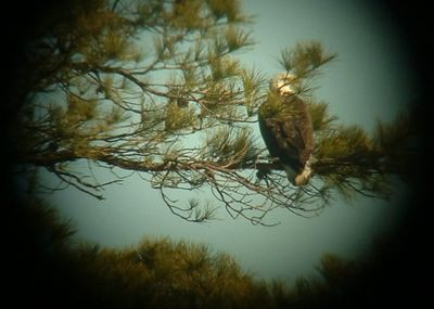 Bald Eagle on Lake Fred Feb 2005