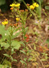 "Species J:  A ""blast from the past.""  We've seen this plant before but not on 9-14-07.  Can you remember it?  Hint: watch for it on Pomona Road and other dry roadsides of the NJPB.  Very numerous right now, at the peak of its flowering period."