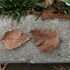 Fallen leaves of Species C (same species as previous photo)