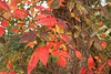 What advantage could it be for these leaves to turn so red and bright in fall.  Hint: in the middle of photo.  <br /> <br /> Also, can you learn to ID this plant?