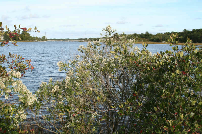 In th background is the Port Republic Bridge.  In the foreground is groundsel-bush, <i>Baccharis halimifolia</i>, a shrub found in salt marshes, brackish creeks , and tidal rivers.