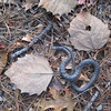 A challenge for Stockton naturalists:  can you name the spot where this snake was released?  Pretty good if you can do it, but I'll bet we have at least a couple of very alert observers who can name this spot!