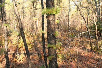 Rt 539 Pitch Pine Forest Recovers from May 07 Fire