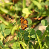 We saw several individuals of this butterfly:  the pearl crescent, Phyciodes tharos.  It's one of the most common small butterflies of the NJPB and elsewhere in southern NJ.  Its caterpillars feed on aster and one of the mysteries is how the caterpillars can be so secretive and seldom seen, when the adults are so numerous.  Keep at eye out and you will see adults frequently.  If you ever find a caterpillar, get your camera out and document it!
