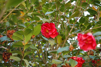 2013 03-13  Roses growing strong