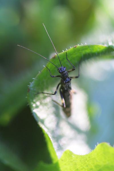 Unidentified Stonefly (Plecoptera)