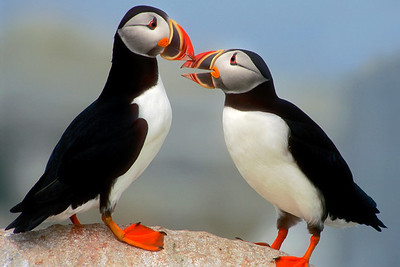 Kissing Puffins