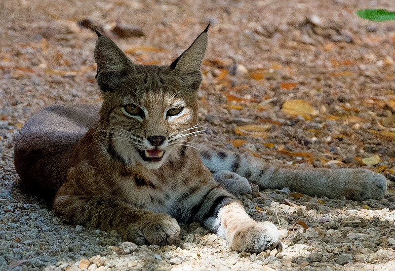 Windgate Ranch Bobcat