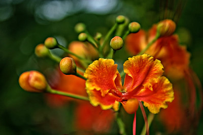 Nectar Rojo - Red Nector