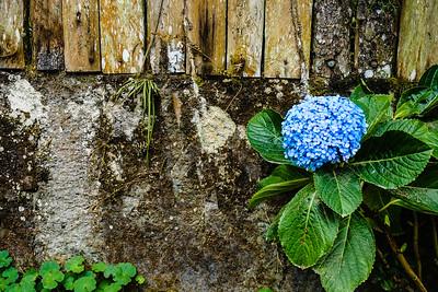 Flor Celeste - The Blue Flower