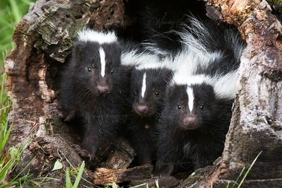 Skunks in a Log