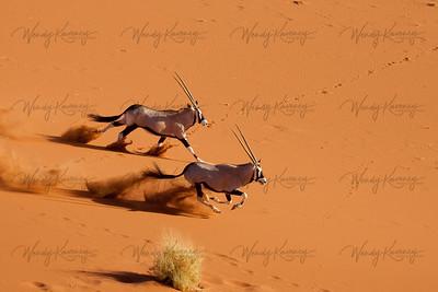 Runing Oryx